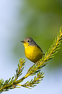 Nashville Warbler (Oreothlypis ruficapilla), Canada