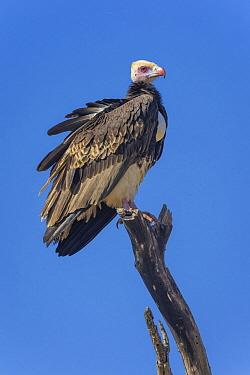 White-headed Vulture (Trigonoceps occipitalis), Kruger National Park, South Africa