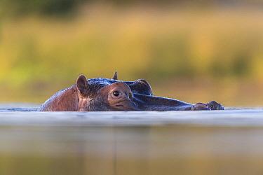 Hippopotamus (Hippopotamus amphibius) at waterline, Klaserie Private Nature Reserve, South Africa