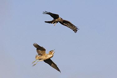 Northern Harrier (Circus cyaneus) fighting with Great Bittern (Botaurus stellaris) in flight, Friesland, Netherlands