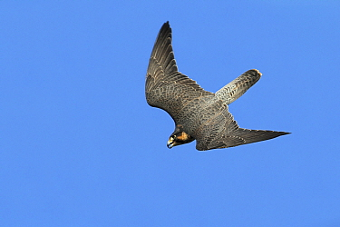 Peregrine Falcon (Falco peregrinus) diving, Noord-Holland, Netherlands