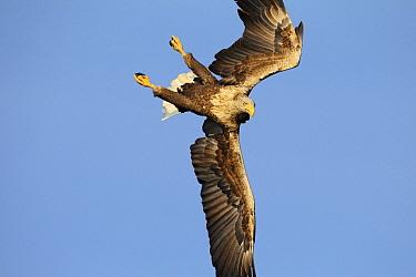White-tailed Eagle (Haliaeetus albicilla) stooping, Oderdelta, Poland