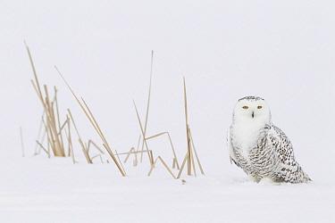 Snowy Owl (Nyctea scandiaca) in snow, Canada  -  Adri de Visser