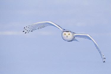 Snowy Owl (Nyctea scandiaca) flying, Canada  -  Adri de Visser