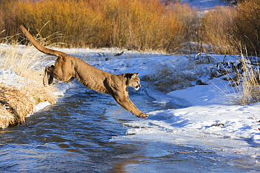 Mountain Lion (Puma concolor) jumping over creek in winter, Montana