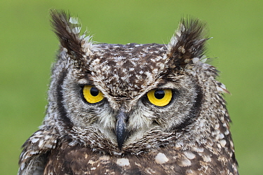 Spotted Eagle-Owl (Bubo africanus), Netherlands
