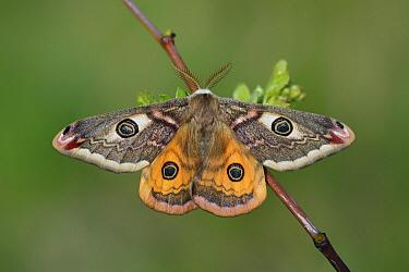 Small Emperor Moth (Saturnia pavonia), Nottinghamshire, England