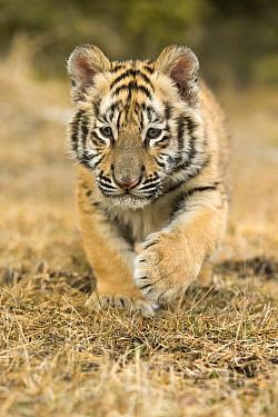 Siberian Tiger (Panthera tigris altaica) cub running, Montana
