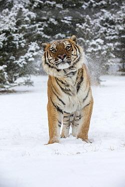 Siberian Tiger (Panthera tigris altaica) shaking off snow, Montana