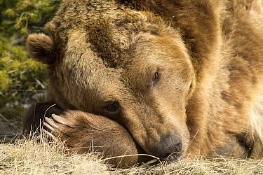 Grizzly Bear (Ursus arctos horribilis) sleeping, Montana