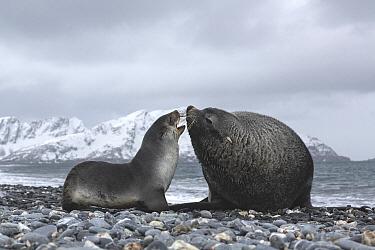 Antarctic Fur Seal (Arctocephalus gazella) pair courting, South Georgia Island