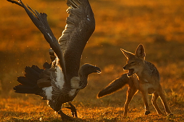 Black-backed Jackal (Canis mesomelas) fighting with White-backed Vulture (Gyps africanus), Masai Mara, Kenya