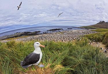 Black-browed Albatross (Thalassarche melanophrys) in colony, Steeple Jason Island, Falkland Islands