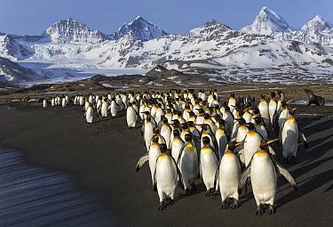 King Penguin (Aptenodytes patagonicus) group on beach, South Georgia Island