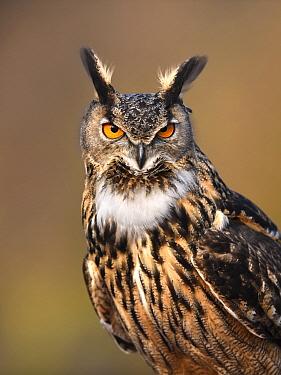 Eurasian Eagle-Owl (Bubo bubo), Gelderland, Netherlands