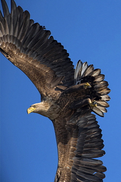 White-tailed Eagle (Haliaeetus albicilla) sub-adult flying, Stepnica, Poland