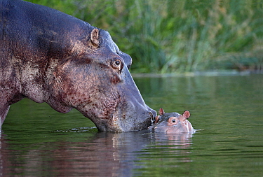 Hippopotamus (Hippopotamus amphibius) mother nuzzling calf in water, Uganda