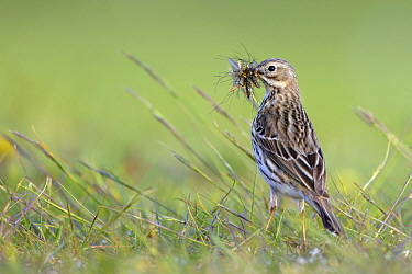Meadow Pipit (Anthus pratensis) collecting food for young, Noord-Holland, Netherlands