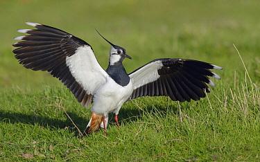 Lapwing (Vanellus vanellus) in defensive posture, Noord-Holland, Netherlands