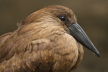 Hamerkop (Scopus umbretta), Germany