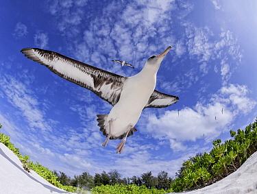 Laysan Albatross (Phoebastria immutabilis) taking flight, Midway Atoll, Hawaii