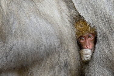 Japanese Macaque (Macaca fuscata) young nestled between adults, Jigokudani Monkey Park, Japan