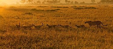 Cheetah (Acinonyx jubatus) mother with six cubs, Masai Mara, Kenya