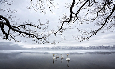 Whooper Swan (Cygnus cygnus) group on lake in winter, Hokkaido, Japan
