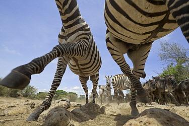 Zebra (Equus quagga) and Blue Wildebeest (Connochaetes taurinus) herd running, Masai Mara, Kenya