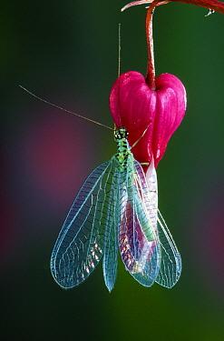 Green Lacewing (Chrysoperla carnea) on Bleeding Heart, Belgium