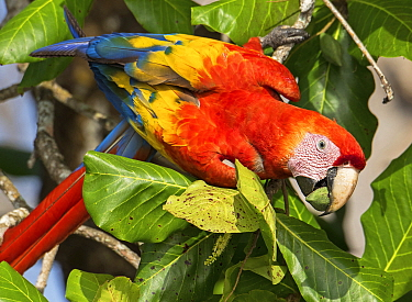 Scarlet Macaw (Ara macao) cracking Almond (Prunus dulcis) nut, Puntarenas City, Costa Rica