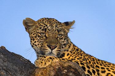 Leopard (Panthera pardus) female, Sabi Sands Game Reserve, South Africa