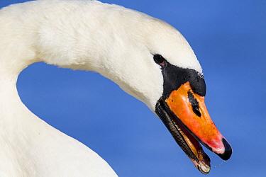 Mute Swan (Cygnus olor) female, Netherlands