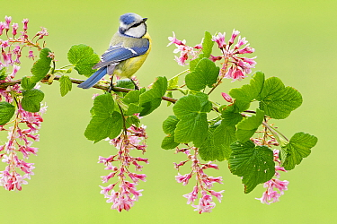 Blue Tit (Cyanistes caeruleus) on flowering current (Ribes sanguineum) branch, Firesland, Netherlands