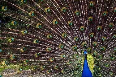 Indian Peafowl (Pavo cristatus) male displaying, Firesland, Netherlands