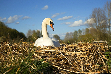 Mute Swan (Cygnus olor) female on nest, Norfolk, England