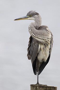 Grey Heron (Ardea cinerea), Zuid Holland, Netherlands