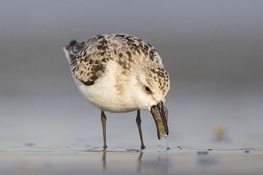 Sanderling (Calidris alba) feeding on Common Shrimp (Crangon crangon), Noord-Holland, Netherlands