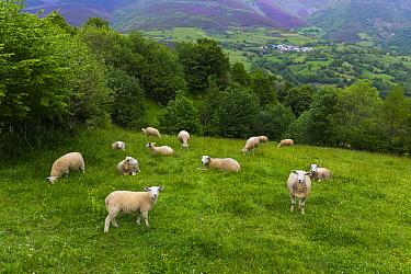 Domestic Sheep (Ovis aries) flock in meadow, Asturias, Spain