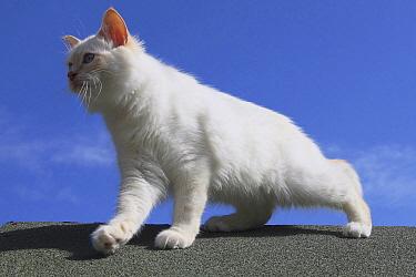 Domestic Cat (Felis catus) on roof, France