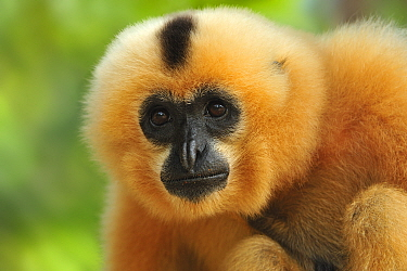 Buff-cheeked Gibbon (Nomascus gabriellae) female, Phnom Tamao Wildlife Rescue Center, Cambodia