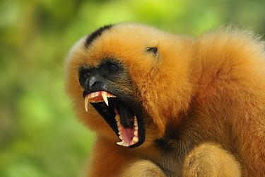 Buff-cheeked Gibbon (Nomascus gabriellae) female in defensive posture, Phnom Tamao Wildlife Rescue Center, Cambodia