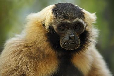 Pileated Gibbon (Hylobates pileatus) female, Phnom Tamao Wildlife Rescue Center, Cambodia