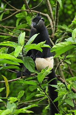 Dealacour's Langur (Trachypithecus delacouri), Cuc Phuong National Park, Vietnam
