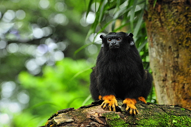 Midas Tamarin (Saguinus midas), native to South America