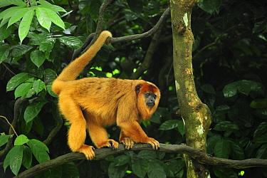 Black Howler Monkey (Alouatta caraya) female, native to South America