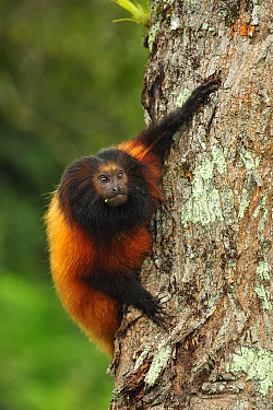 Black-faced Lion Tamarin (Leontopithecus caissara), Superagui National Park, Atlantic Forest, Brazil