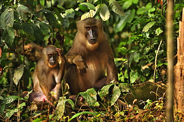 Drill (Mandrillus leucophaeus) juveniles, Afi Mountain Wildlife Sanctuary, Nigeria