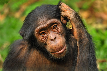 Chimpanzee (Pan troglodytes) sub-adult, Afi Mountain Wildlife Sanctuary, Nigeria