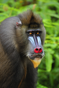 Mandrill (Mandrillus sphinx) male, Lekedi Natural Preserve, Gabon